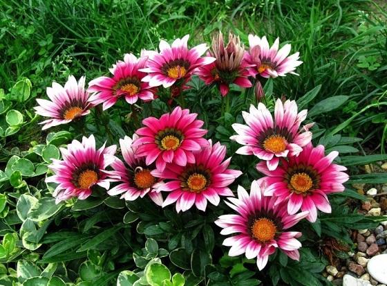 Гацанія - вирощуємо квіти