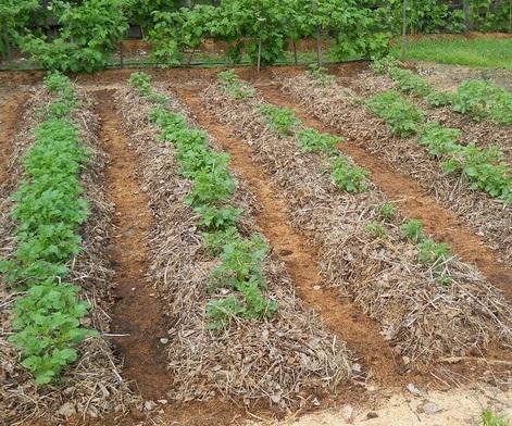 Вирощування картоплі під соломою
