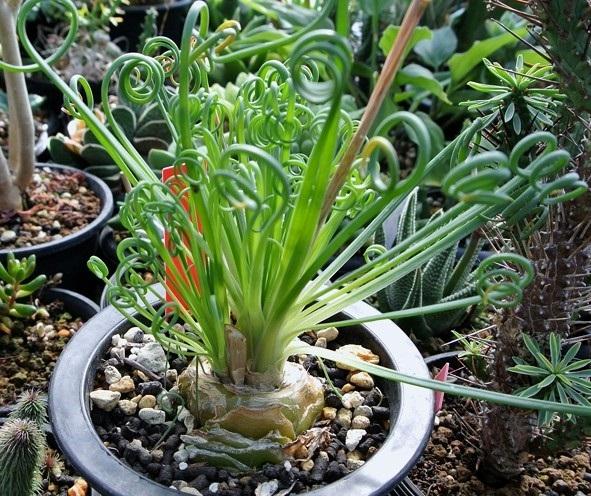 Альбука спіральна - вирощування і розмноження із насіння