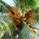 Кокосова пальма (Cocos nucifera).