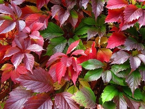 Садимо виткі рослини для живої огорожі