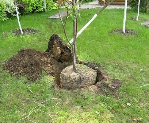 Пересадка фруктових дерев.