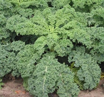 Кормова капуста - особливості вирощування.