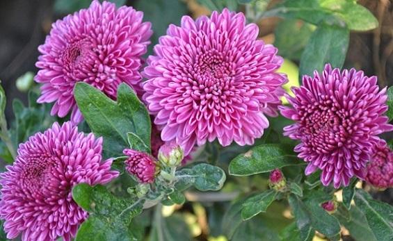 Квіти айстри.