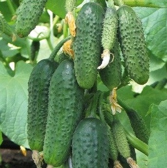 Як підвищити врожайність огірків, чим їх підживлювати?