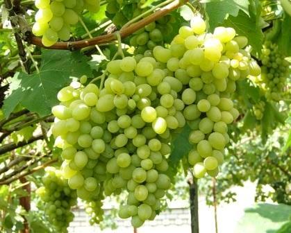 Вирощування винограду на ділянці.