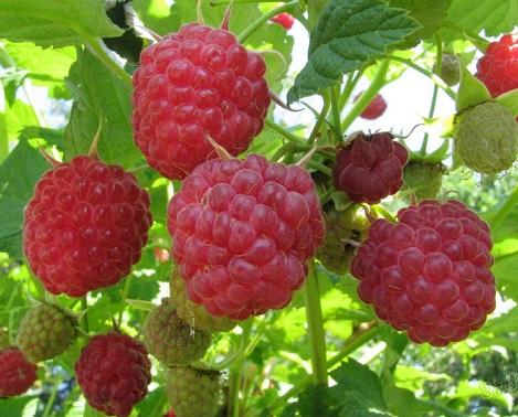 Підвищення врожайності малини - вносимо добрива на осінь.