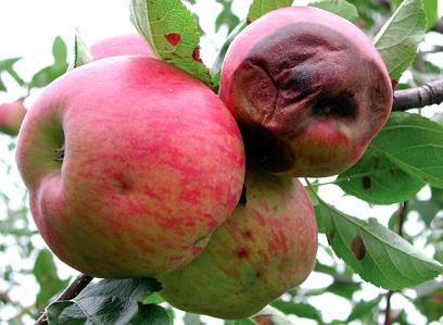 Плодова гниль яблуні - профілактика і боротьба