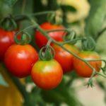 Свій екзотичний город в квартирі - помідори Черрі