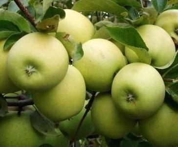Як вибрати відповідний сорт яблуні