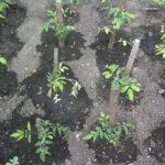 Як посадити на зиму помідори?