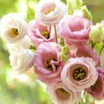 """Еустома — """"троянда кохання"""" і символ веселощів!"""