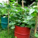 Вирощування огірків у діжці, посів насіння