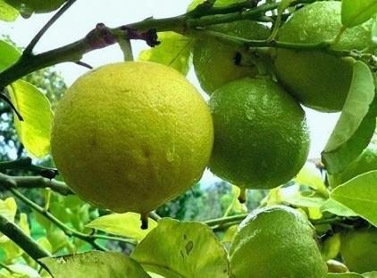 Вирощування бергамоту із насіння.