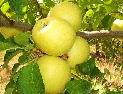 Яблуня Голден Делішес - посадка і догляд