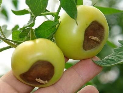 Чому помідори гниють на грядках, як врятувати?