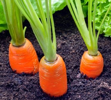 Догляд за морквою після посіву?