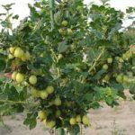 Як виростити штамбовий аґрус