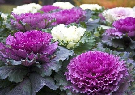 Декоративна капуста - вирощування із насіння