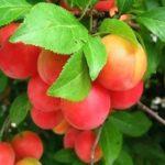 Гібриди вишневої сливи - посадка і догляд