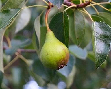 Чому сохне груша у саду?
