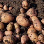 Поганий врожай картоплі — причини?