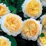 Англійські троянди: посадка, догляд і проблеми