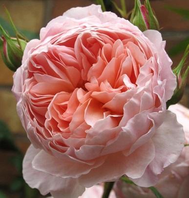 Англійська троянда одинока