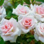 Що робити, щоб троянди не хворіли?