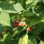 Як оброблюють малину восени і навесні?