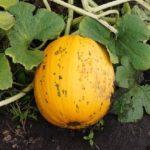 Вирощування гарбуза на компостній купі