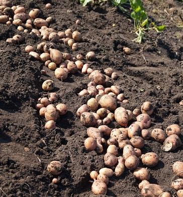 Готуємо грядки під картоплю з осені.