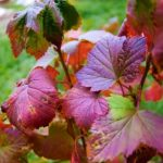 Підживлення ягідних кущів восени - аґрусу, смородини чорної, червоної білої.