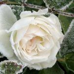 Як підготувати троянди до зимівлі?