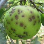 Осіннє обприскування яблунь від парші