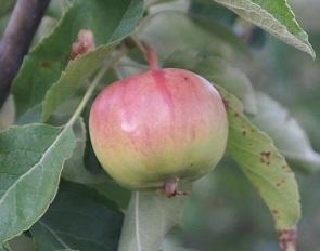 Як зберегти яблука всю зиму у підвалі чи льосі?