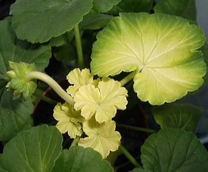 Чому жовтіє листя герані?