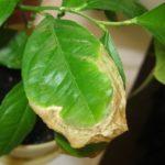 Що робити, якщо на листках лимона з'явилися плями?