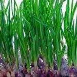 Посадка і вирощування часнику на зелень.