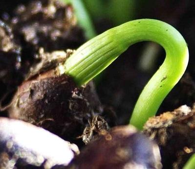 Поширені способи стратифікації насіння