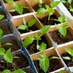Уникаємо помилок при вирощуванні розсади.