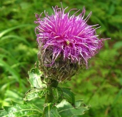 Левзея сафлоровидна - лікувальні властивості для чоловіків