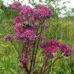 Очиток пурпуровий з давніх часів застосовують народній медицині