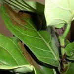 Чому чорніє листя у фікуса?