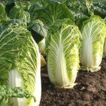 Особливості вирощування і догляд пекінської капусти