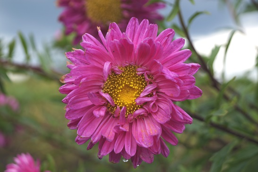Головні правила вирощування хризантем.