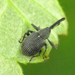 Довгоносик — головний шкідник полуниці