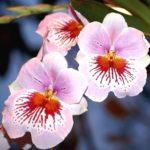 Орхідея мільтонія - догляд і вирощування