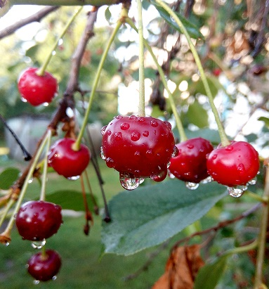 Як отримувати гарний врожай вишні щороку?