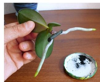 Як відсадити дитинку (відросток) орхідеї?
